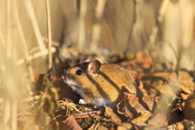 Small - Rodent